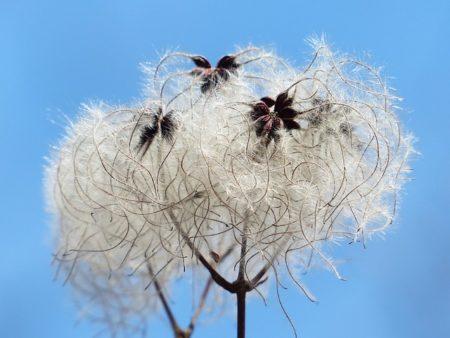 Planta de algodón, mullidos rodean mi convento