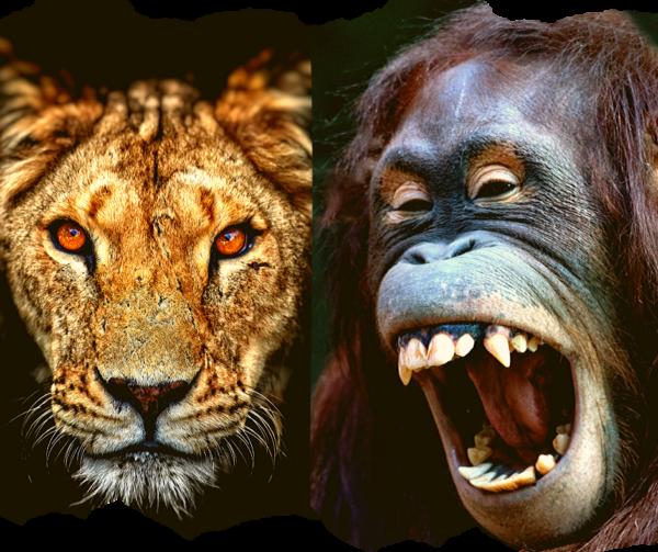 Un Orangután enjaulado y una leona mirando tranquila, cuerpo, corazón y mente en acción