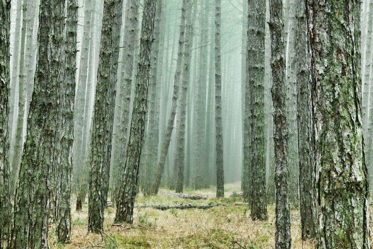 El bosque de pinos, parecido al bosque de Valorio en Zamora